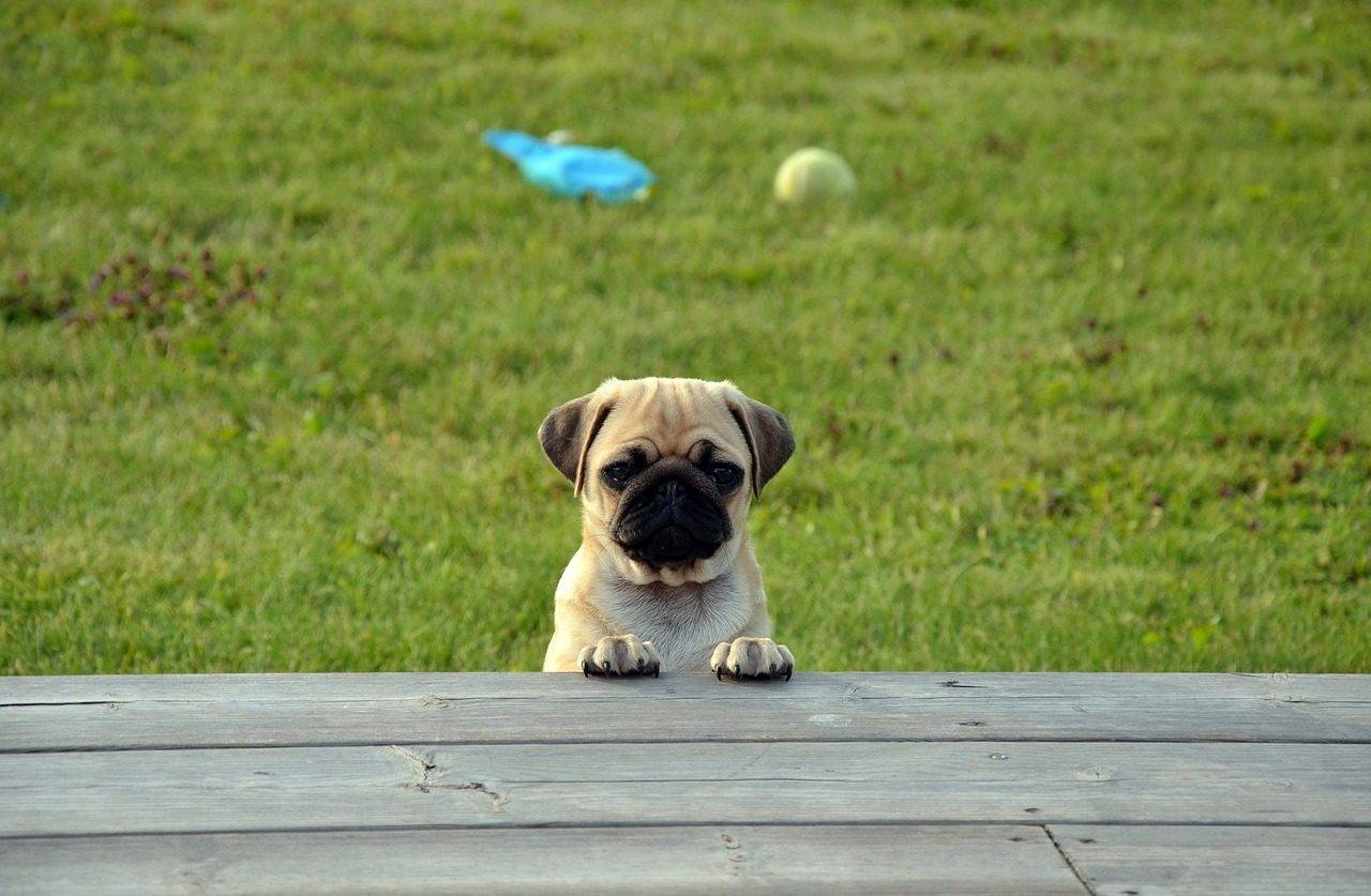 pug-dog-silver-bay-holiday-village-anglesey-1280x837.jpg