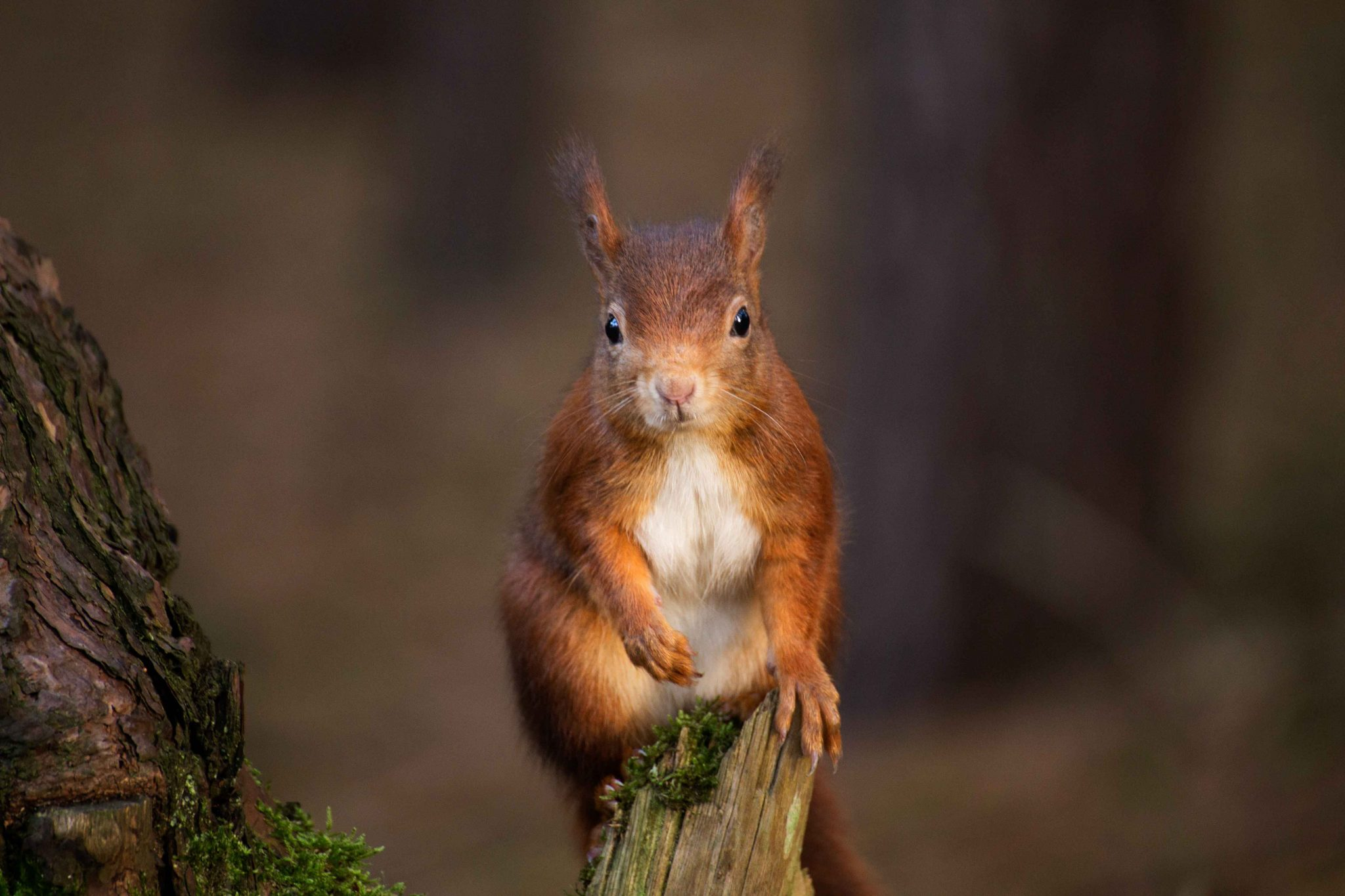 Red Squirrels in Anglesey
