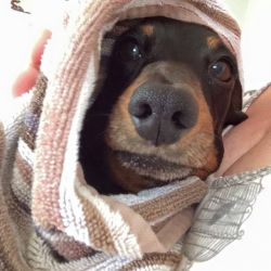 silver-bay-holiday-village-anglesey-dog-wrapped-towel